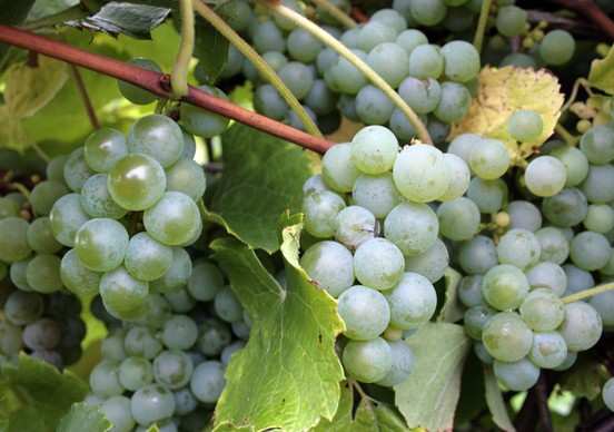 grape_clusters_green__552x388